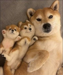 2 Best Names for Female Shiba Inu Dogs