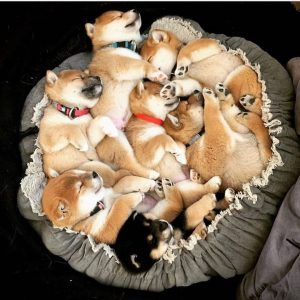 Perfect Names for Your Shiba Inu Puppy