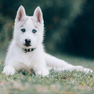 Best Female Husky with Blue Eyes
