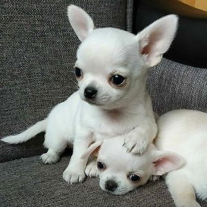 Best Female chihuahua names