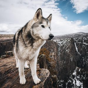 Best Male Husky Names with Meanings