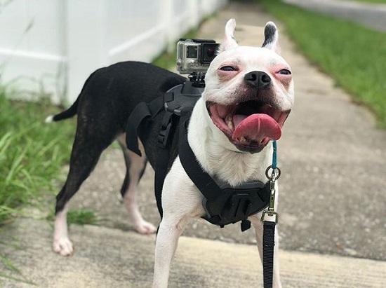 Black and White Boston Terrier Dog Names
