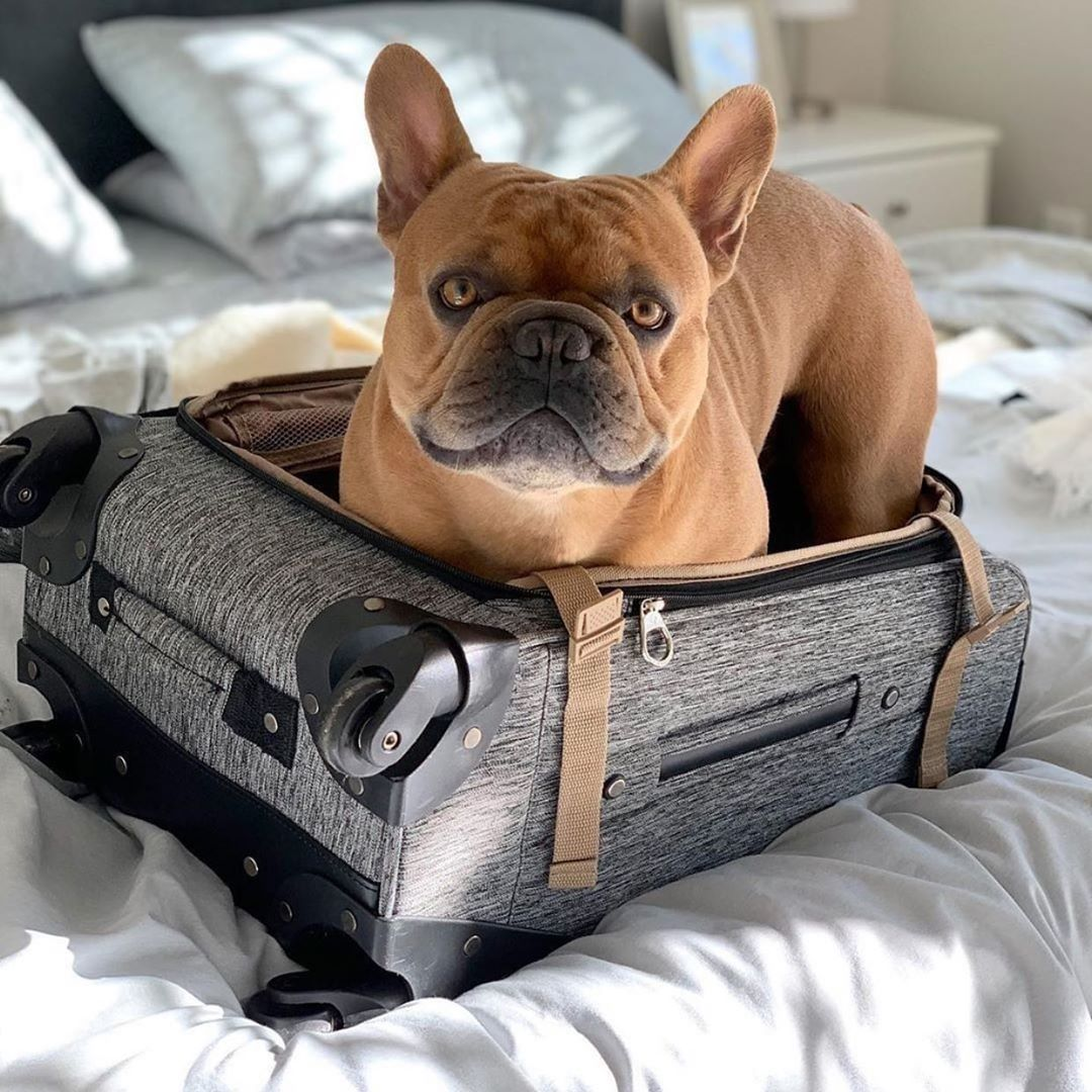 300 Best French Bulldog Names With Meanings All About Pets