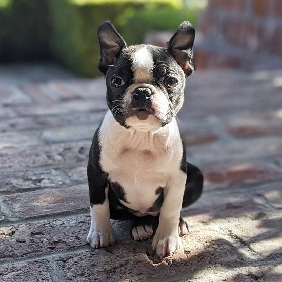 Male Boston Terrier Dog