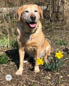Male Yellow Lab Names