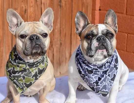 Popular Boston Terrier Dog