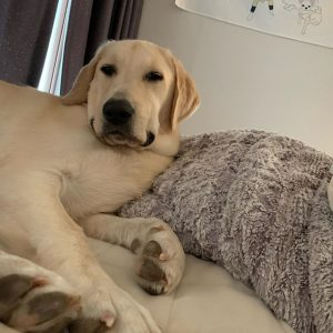 Unique Yellow Lab Names with Meanings