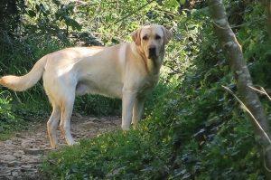 Yellow Lab Hunting Dog Names