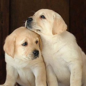 Yellow Lab Names for a Puppy