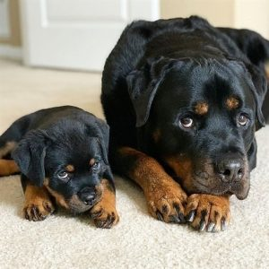Best Rottweiler Girl Puppy Names