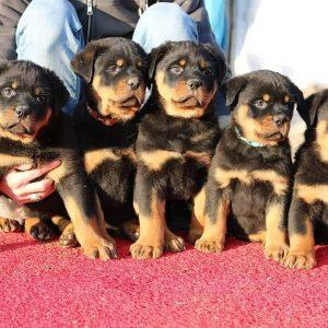 rottweiler puppys